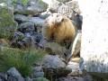 Zvedavý svišť